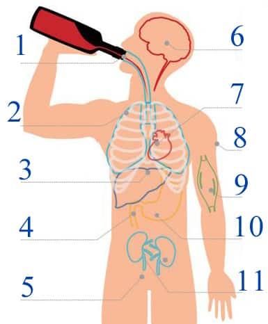 Схема про шкідливість алкоголізму на людський організм